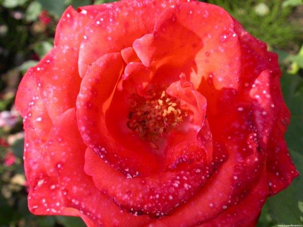 Цветы. Фотогаллерея цветов, букетов, композиций - Распустившийся бутон красной розы